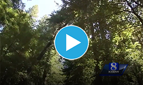 Santa Cruz redwood trees suffering from drought